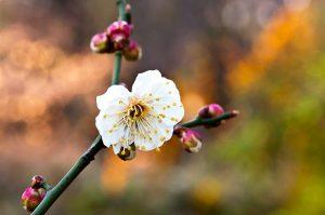 kíníi szilva virág
